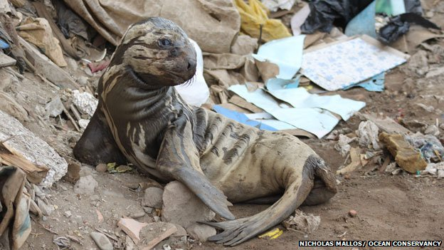 A sea lion in Lima, Peru, struggles to return to the water because of all the plastic on the beach