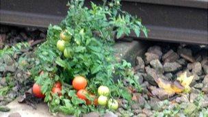Tomatoes plant on rail track