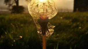 Dandelion encased in a spider's web
