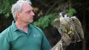 Steve Younge with peregrine falcon