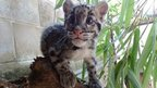 Nimbus the clouded leopard