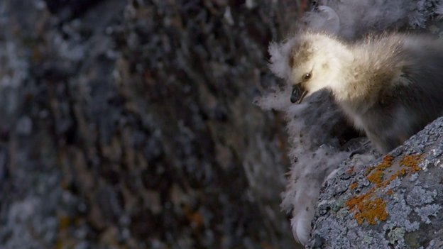 Barnacle gosling preparing to jump 120m down sheer cliff face