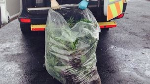 Police officer with cannabis plants in Wales
