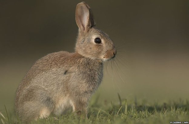 European rabbit (c) Pete Cairns / naturepl.com