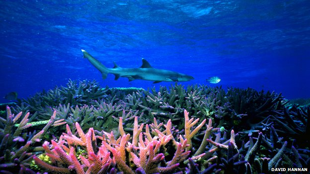 Shark over coral on Great Barrier Reef