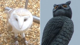 Whisper the barn owl and a plastic owl model