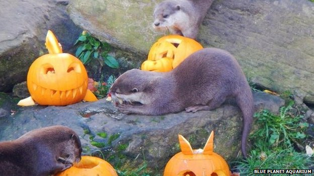 Otters with Halloween pumpkins