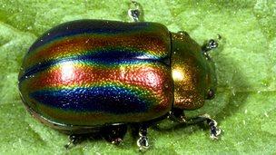 Rainbow leaf beetle (c) SPL