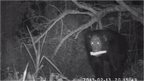 Chimp raiding maize field at night (c) Plos One