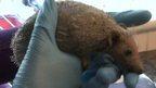 Pumpkin the hedgehog