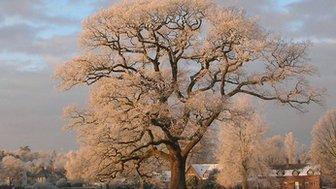 Ickwell Oak, Bedfordshire