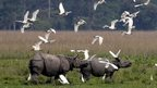 A flock of ibis fly past a pair of rhinos at the Pobitora Wildlife Sanctuary in northeastern India, which reopens for tourists next month