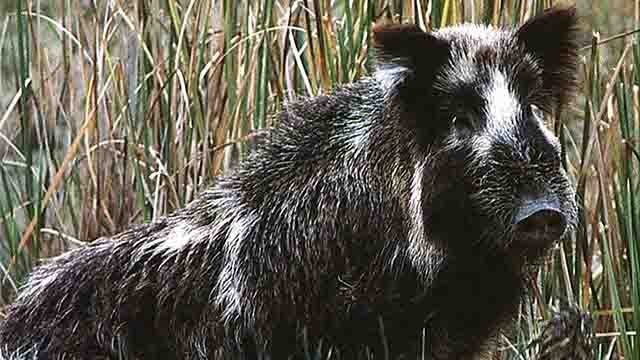 Alabama Man Shoots Huge Wild Boar In His Front Garden BBC News - Map of areas in us with wild pigs