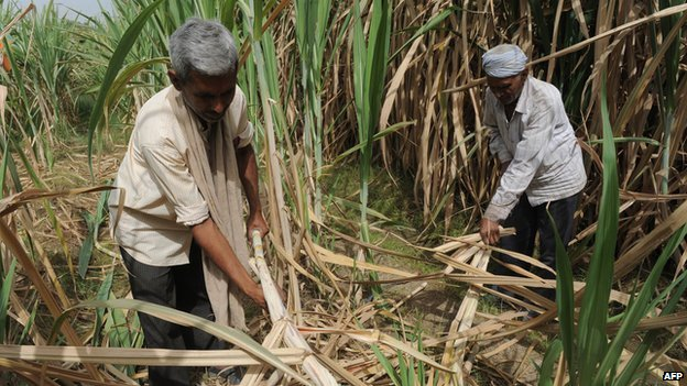 Sugar-cane harvest