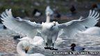Bewick's Swans at Wildfowl Wetlands Trust, Slimbridge in Gloucestershire.