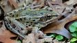New species of leopard frog found in New York (c) Feinberg et al