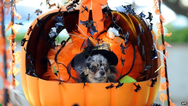 A dog in a pumpkin costume at the Halloween Dog Costume Parade in California