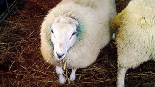 Sheep with no ears