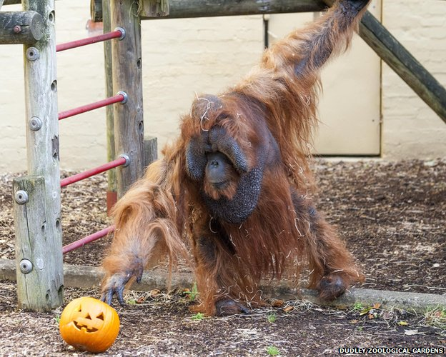 Bornean orangutan Benji