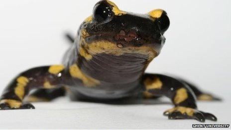 A fire salamander