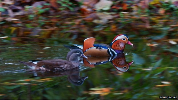 Mandarin ducks on the River Leven near Balloch.