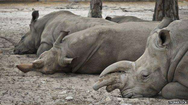 BBC News - Could sound design help captive rhino breeding?