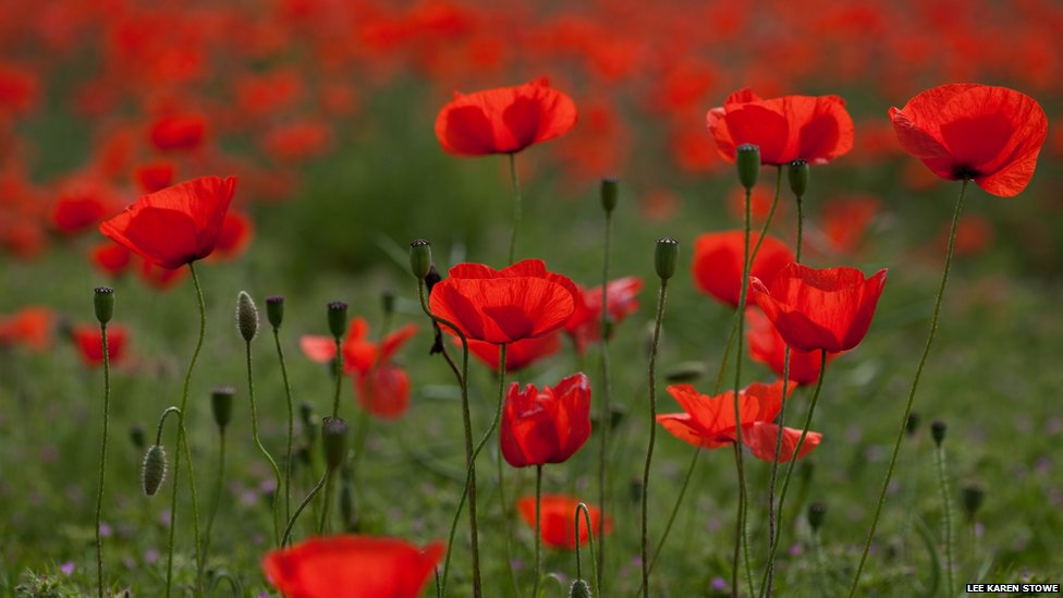 how to grow poppies inside