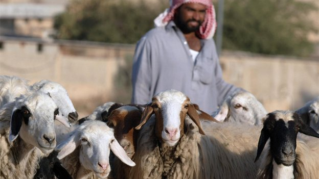 Saudi Shepherd with his sheep