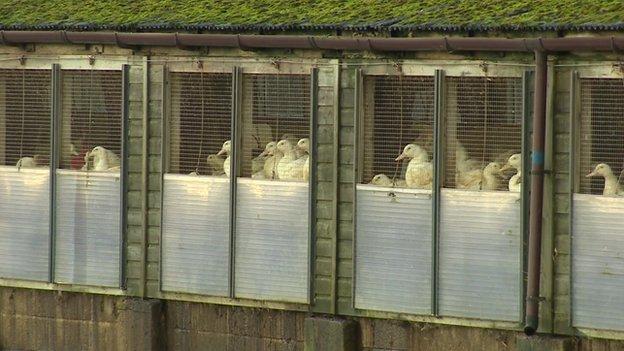 Ducks at the Yorkshire farm where bird flu has been found