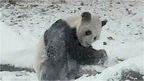 Da Mao the Panda