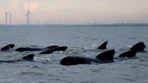 Pilot whales of coast at Brightlingsea
