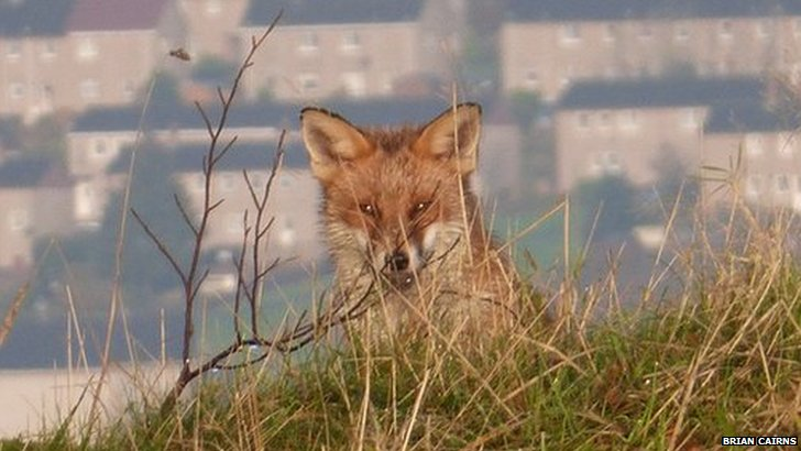 fox in croy