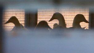 Ducks at a duck farm in Nafferton
