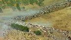 Cattle herded in Australia