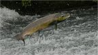 Leaping salmon could become a familiar sight
