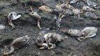 Dead ducks in Kerala