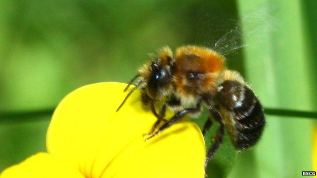 pinewood mason bee