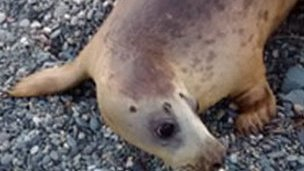 Rescued seal