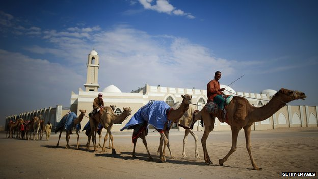 Camels being exercised in the UAE