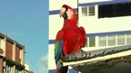 A macaw on a roof