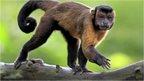 A tufted capuchin monkey