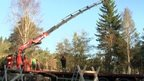 Spruce tree being loaded onto a lorry