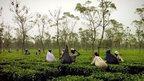 Jalpaiguri tea garden