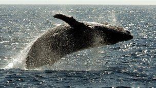 Humpback whale breaching in Pacific Ocean near Hawaii