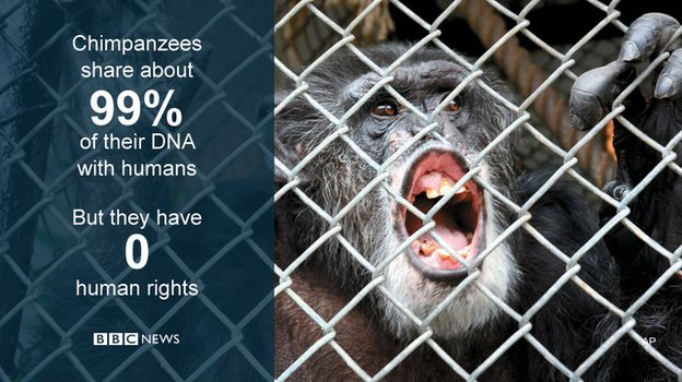 US chimpanzee Tommy 'has no human rights' - court