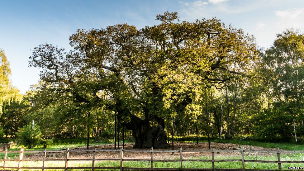 Major Oak in Sherwood Forest, Nottinghamshire