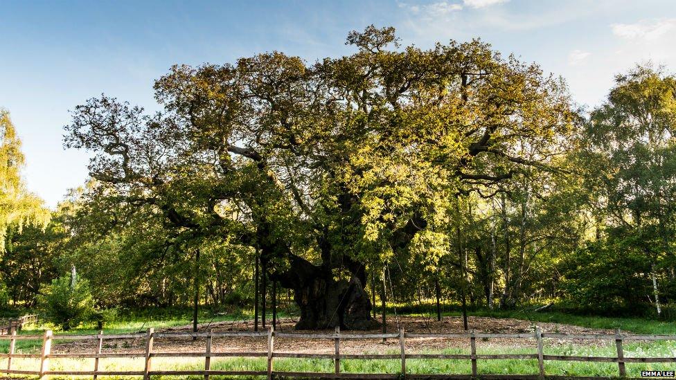 Major Oak in Sherwood Forest, Nottinghamshire