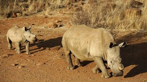 Two rhinos in Africa
