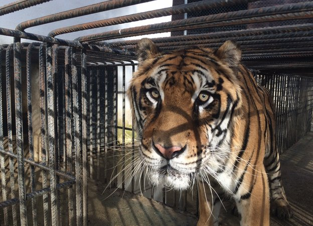 Phevos the tiger