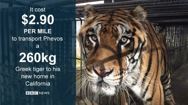 The tiger who flew halfway across the world for a better life